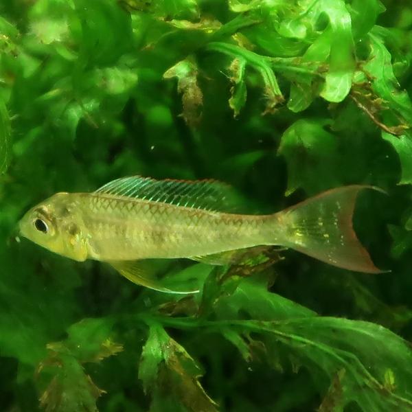 グリーンドワーフシクリッド biotoecus dicentrarchus male