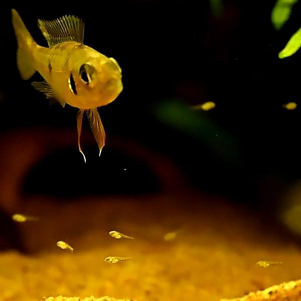 グリーンドワーフシクリッド biotoecus opercularis 繁殖 産卵 孵化