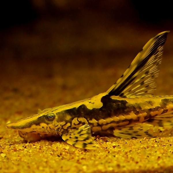 ロイヤル ファロウェラ sturisoma aureum