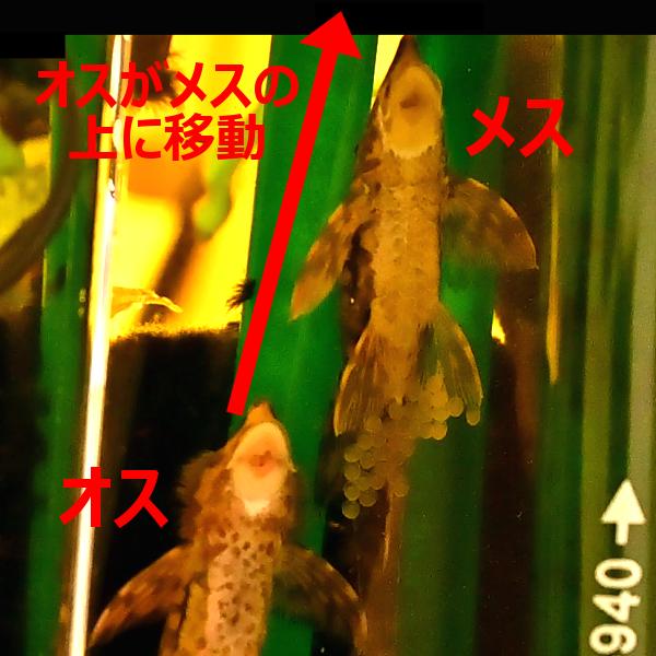ロイヤル・ファロウェラ 産卵 繁殖